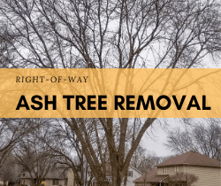 Right of Way Ash Tree Removal